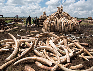 Wildlife Preservation - ivory trade